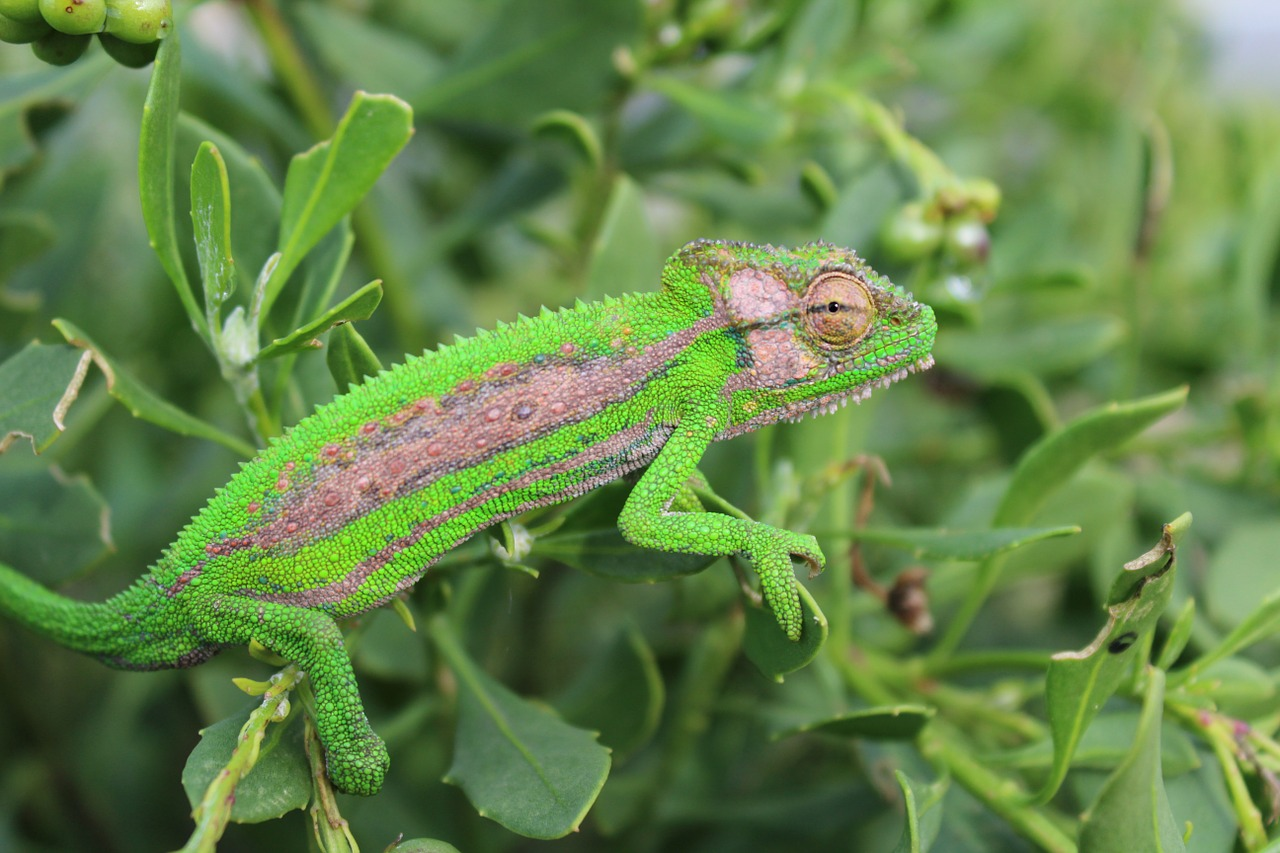 A lizard, disguised by camouflage against the green leaves it is sitting on