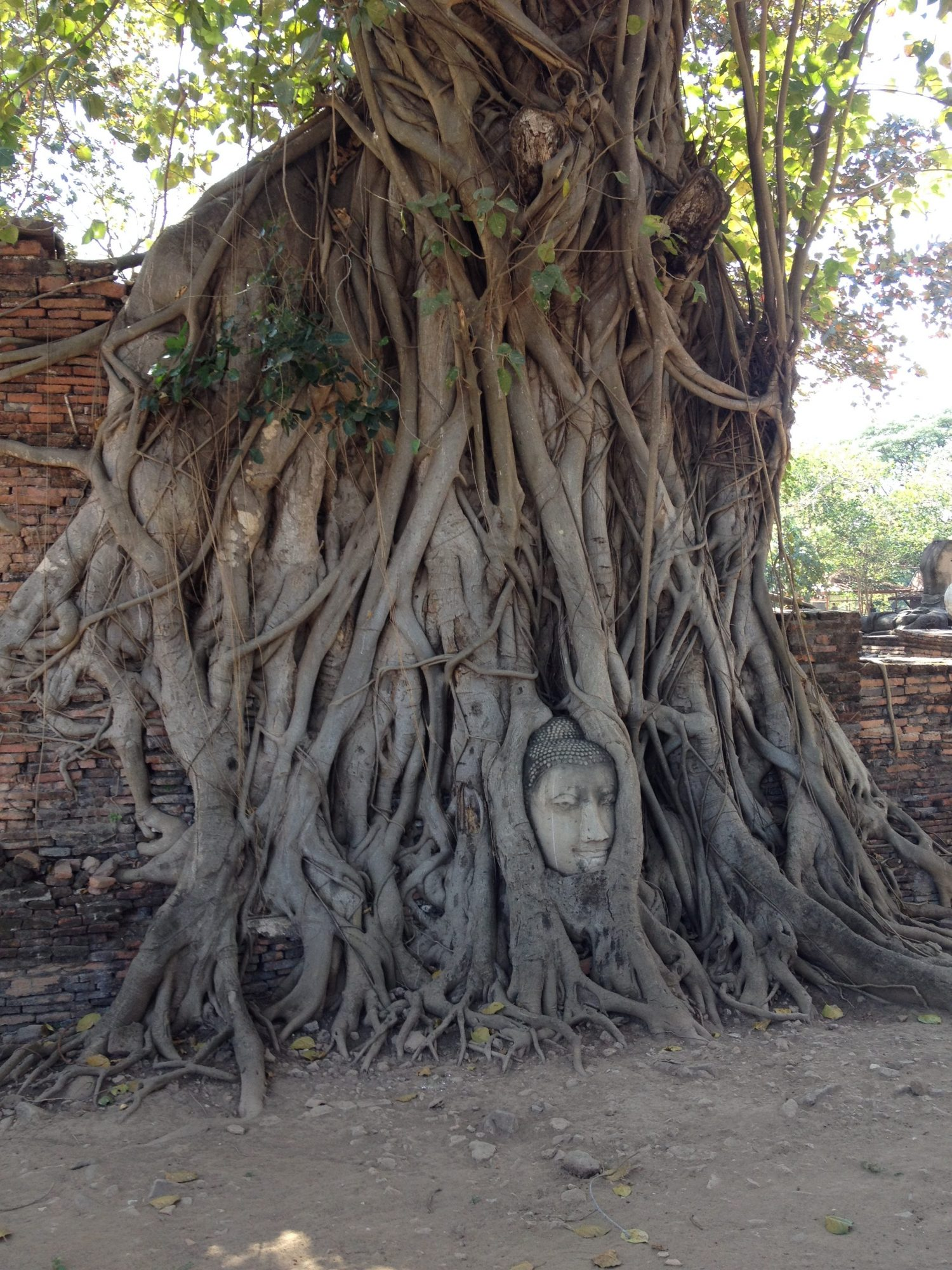 A Buddha head in an overgrown bodhi tree in Ayutthya, Thailand