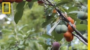 "A screengrab from the National Geographic video ""This Crazy Tree Grows 40 Kinds of Fruit"""